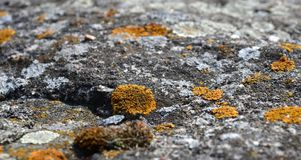 Lichen growing on a rock. Close look royalty free stock photo