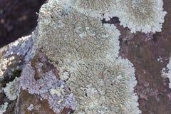 Lichen. Growing on a rock. Taylors Falls, Minnesota Royalty Free Stock Photography