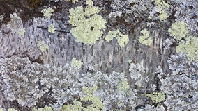 Lichen growing on the tree Royalty Free Stock Image