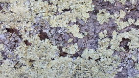 Lichen growing on the tree Royalty Free Stock Photo