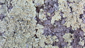 Lichen growing on the tree Royalty Free Stock Photos
