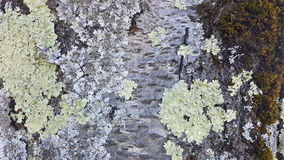 Lichen growing on the tree Royalty Free Stock Photography
