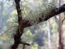 Lichen growing. On a tree branch Stock Images