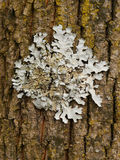 Lichen. Growing on wood in forest Stock Image