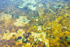 Lichen in hot spring pond. Stock Photo