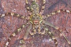 Lichen Huntsman Spider Photographie stock libre de droits