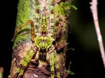 Lichen Huntsman Spider Heteropoda boiei Royalty Free Stock Photo