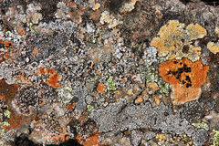 Lichen in Iceland Stock Photo