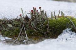 Lichen incliné par rouge Photos stock