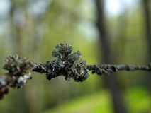 Lichen - the indication of clean environment. Lichen on a branch in a spring green background. They only grow in a free environment Stock Images