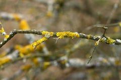 Lichen jaune Photos stock