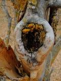 Lichen jaune et orange sur l'écorce d'arbre, combinaison symbiotique d'un champignon avec algues ou bactérie, fin, macro dans la  photographie stock