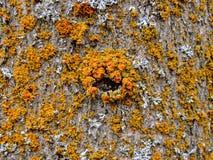 Lichen jaune et orange sur l'écorce d'arbre, combinaison symbiotique d'un champignon avec algues ou bactérie, fin, macro dans la  photo libre de droits