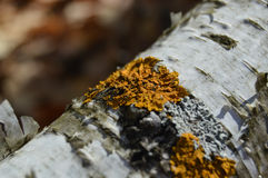 Lichen jaune sur le branchement d'arbre Photo stock