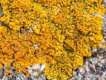 Lichen jaune sur une roche photographie stock libre de droits