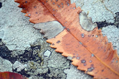 Lichen and leaf Royalty Free Stock Photos