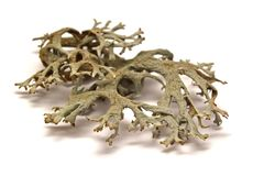 Lichen. Isolated on white background royalty free stock images