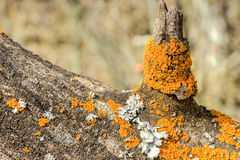 Lichen. S on the tree bark in spring season Stock Image