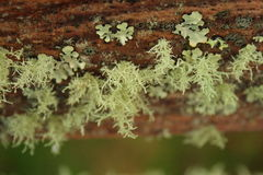 Lichen life. Lichen living on the branches of trees on the island of Madeira.  Like in many places of the world, certain species of flora and fauna develop Royalty Free Stock Photos