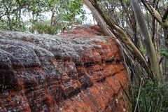 Red lichen on boulder in Australian forest Royalty Free Stock Photography