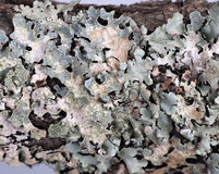 Lichen macro Royalty Free Stock Photo