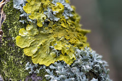 Lichen. A macro image of lichen growing on a tree stock photo