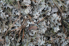 Lichen Royalty Free Stock Photography