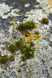 Lichen and moss Royalty Free Stock Photo