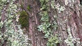 Lichen and moss growing side by side on the bark of a tree stock footage