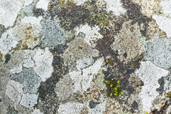 Lichen and moss growing on a stone, closeup Royalty Free Stock Photo