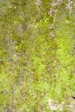 Lichen and Moss Grunge Nature Background. Vivid green living grunge on a slab of exposed Welsh slate stock photo