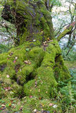 Lichen moss on old tree. Green moss lichen generously growing on base of tree Royalty Free Stock Images