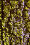 Lichen moss on the trunk bark of Sequoia Stock Images