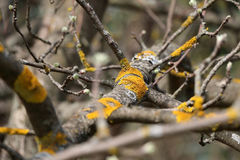 Lichen (moss) yellow on a tree branch. Time of year spring. Buds Stock Photos