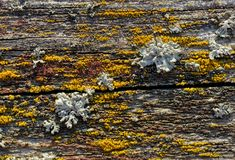 Lichen on old wooden plank royalty free stock images