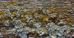 Lichen on old wooden plank stock photography