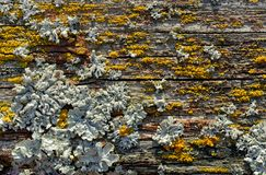 Lichen on old wooden plank stock images