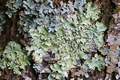 Lichen On Wood Bark In Europe Stock Image
