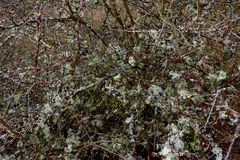Lichen overgrown scrub on a mild winters day. Undergrowth covered with lichen during mild winter season in Germany at Manubach area. A village in the world Royalty Free Stock Photos