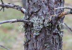 Lichen Parmelia stock photos