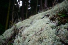 Lichen Patch i den mossiga skogen arkivbild