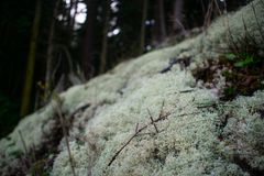 Lichen Patch im moosigen Wald stockfotografie