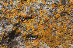 Lichen pattern on rock background. Macro of orange and grey lichen stains on stone surface Royalty Free Stock Photos