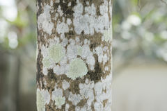 Lichen pattern on tree. Closeup of a tree bark texture with Lichen. Selective focus Royalty Free Stock Photos