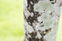 Lichen pattern on tree. Closeup of a tree bark texture with Lichen. Selective focus Royalty Free Stock Images