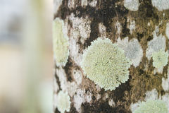 Lichen pattern on tree. Closeup of a tree bark texture with Lichen. Selective focus Royalty Free Stock Photo