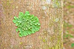 Lichen. A piece of lichen on tree Stock Images