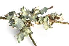 Lichen Stock Image