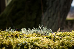 Lichen pseudovernia furfuracea on moss covered tree trunk. Royalty Free Stock Photos