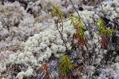 Lichen - rangiferina de Cladonia images stock